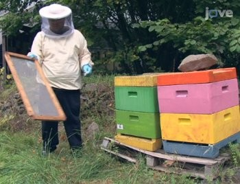 Scientist catching Honey Bees For Tactile Conditioning Experiments