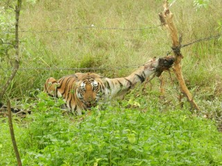 Tigress caught in barbed wire fence before it was rescued.