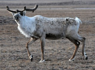 Christmas arrives early. Reindeer, or caribou, if you prefer, are one of the many species that will benefit from the conservation of Arctic wetlands and migratory...