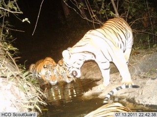 Camera Trap Image of tigers and cubs from Huai Kha Khaeng (HKK) Wildlife Sanctuary, Thailand.