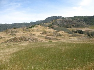 Native plants on a California reserve (in bloom on mounds in background) are found in marginal, patchy habitats following invasion by exotic grasses (in green...