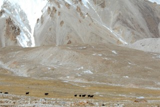 Wild yaks at the edge of a glacier on the Tibetan plateau.