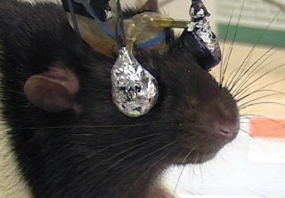 A rat wears special goggles to receive visual cues to one eye or the other.