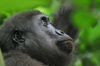 The newly created Ntokou-Pikounda National Park spans some 4,572 square kilometers (1,765 square miles) and will safeguard western lowland gorillas as well...