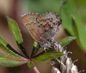 The frosted elfin butterfly is one of the species covered in the study.