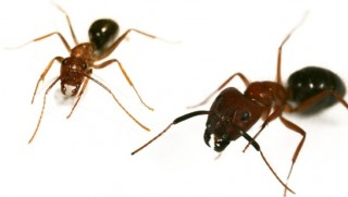 Florida carpenter ants - minor (left) and major (right).