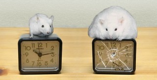 Disruption of body's circadian clock increases risk of obesity, diabetes and heart disease.