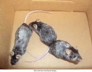 Mice that have developed vitiligo.