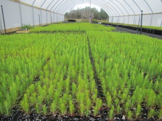 Thousands of loblolly pines being grown at the Lady Bird Johnson Wildflower Center's tree nursery.