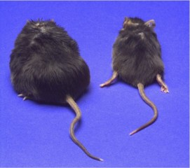 Mice before and after weight loss from a calorie-restricted diet.