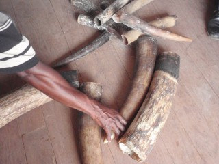 Seized tusks including some from elephant babies from Pokola, Republic of Congo.