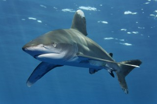 The United States, Brazil, Ecuador, and more than 30 other countries have proposed to list several shark and ray species—including the oceanic whitetip...