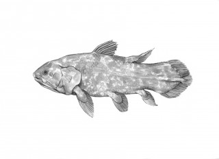 Illustration of the Africian coelacanth by Catherine Hamilton.