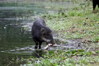 For the first time, researchers in the Brazilian Pantanal have photographed a behavior not typically associated with fruit-eating white-lipped peccaries:...