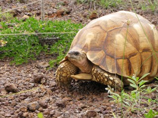 Ploughshare tortoise, found only in Madagascar, is being collected out of existence by illegal wildlife traffickers.