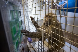 Sabina, an olive baboon at the Seneca Park Zoo in Rochester, N.Y. participates in a University of Rochester study led by cognitive scientist Jessica Cantlon.