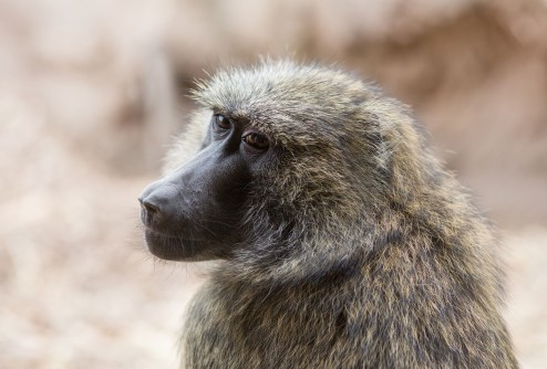 Newswise: Monkey Math: Baboons Show Brain's Ability To Understand Numbers