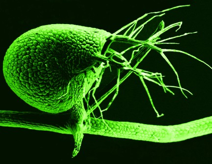 Newswise: Carnivorous Plant Throws Out 'Junk' DNA