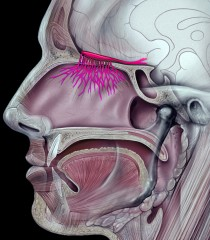 The olfactory nerve (in red)