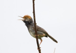 A male Cambodian tailorbird in Phnom Penh. The species was only recently discovered by Scientists.