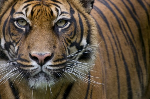 Newswise: Researchers Discover Human Activities Threaten Sumatran Tiger Population