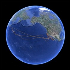 Migration track of a tagged Pacific Bluefin Tuna.