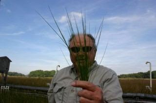 The Smithsonian Environmental Research Center's Bert Drake holds up a cluster of Spartina patens, a marsh grass that absorbed more CO2 than his team expected....