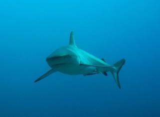 A grey reef shark, one of the species encountered in a recent study by WCS and the University of Western Australia. Marine researchers found that the number...
