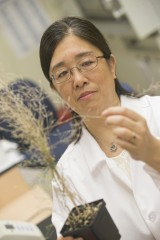 Stony Brook's Alison Liu examines mature seed production in an Arabidopsis plant.