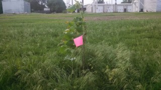 Students planted cottonwood trees at a Sylvan Grove site to help clean nitrate contamination from soil and groundwater.