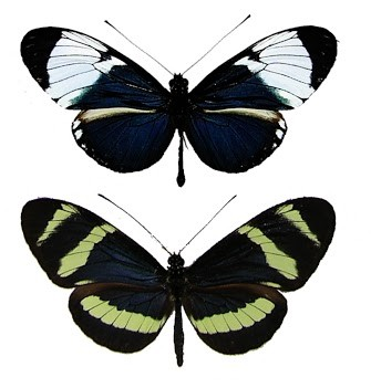 Heliconius cydno and H. pachinus butterflies, wing view