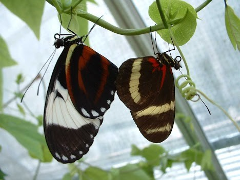Heliconius cydno and H. pachinus butterflies