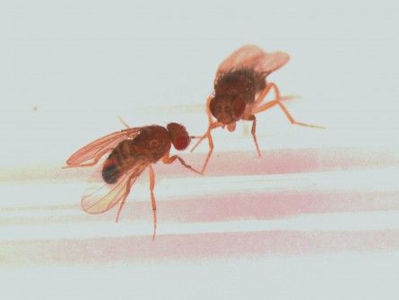Newswise: Fruit Flies with Better Sex Lives Live Longer