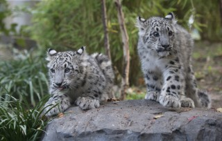 A pair of snow leopard cubs made their debut at the Wildlife Conservation Society's Central Park Zoo.