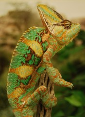 ASU researchers have discovered that color changes in chameleons convey different types of information during important social interactions. The lizards'...