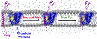 Caption: Rhomboid proteases 'stop and frisk' all protein 'prey' in the membrane indiscriminately. The rhomboid protease cuts slowly so that stable proteins...