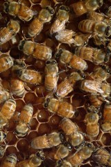 Arizona State University Provost Robert E. Page Jr. and scientists in Germany and France have uncovered the key to sex determination in honey bees, one of the most...