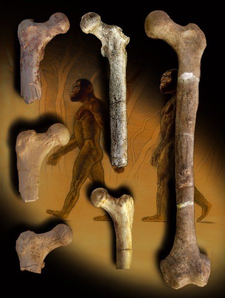 Composite: Orrorin (at left) and other fossil hominins