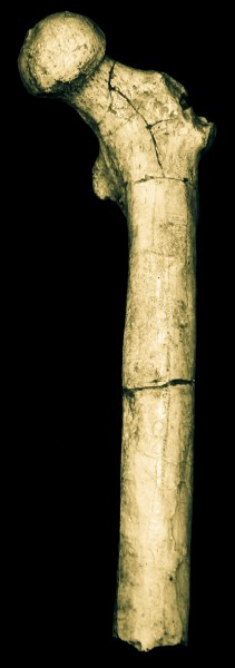 The femur of Orrorin tugenensis