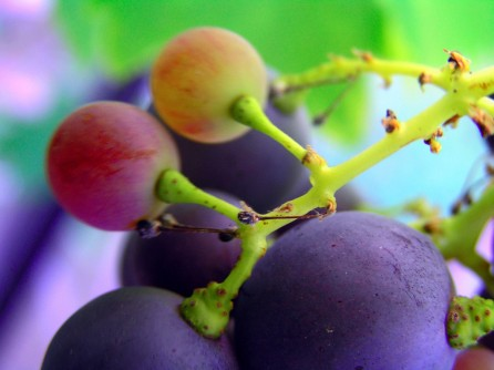Newswise: Active Component of Grape Seed Extract Effective Against Cancer Cells
