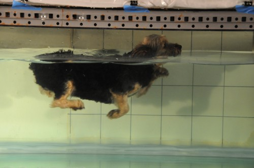 Newswise: How Dogs Do the 'Dog Paddle': An Evolutionary Look at Swimming