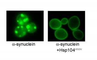 Alpha-synuclein forms Lewy Body-like inclusions in the cytoplasm of yeast (left) but these are dissolved and alpha-synuclein returns to the plasma membrane...