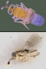 Of the parasitic wasps imported from Mexico, the Acerophagus papayae, top, was found to be effective against the papaya mealybug in India. The bottom image...