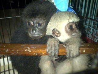 A baby siamang and baby Javan gibbon confiscated from the trader's warehouse at the time of arrest.