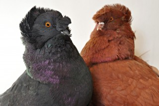 These English trumpeter pigeons – blue-black on the left and red on the right – display some of the great diversity of colors among some 350 breeds...