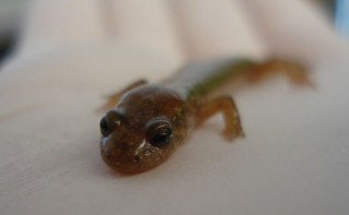 This little amphibian's method of escape takes layers of physics and engineering to explain.
