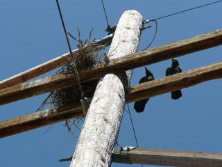 Ravens sit alongside their nest atop a transmission pole in southeastern Idaho.