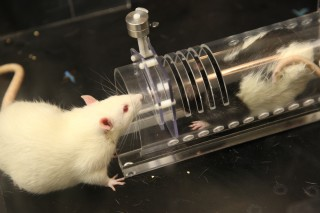 Albino rat interacting with trapped black/white rat