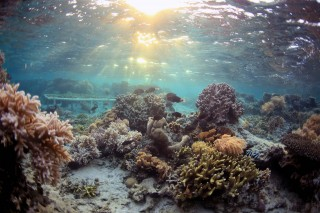 An experimental coral rack is deployed on a shallow reef within the marine reserve at Totua, Viti Levu, Fiji. The research examined chemical warfare between...