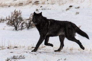 Gray wolf in Yellowstone National Park. Gray wolves are one of the world's most widely distributed mammals and the most studied  large carnivore.